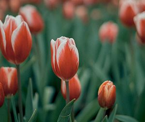 Red and white tulips with green leaves